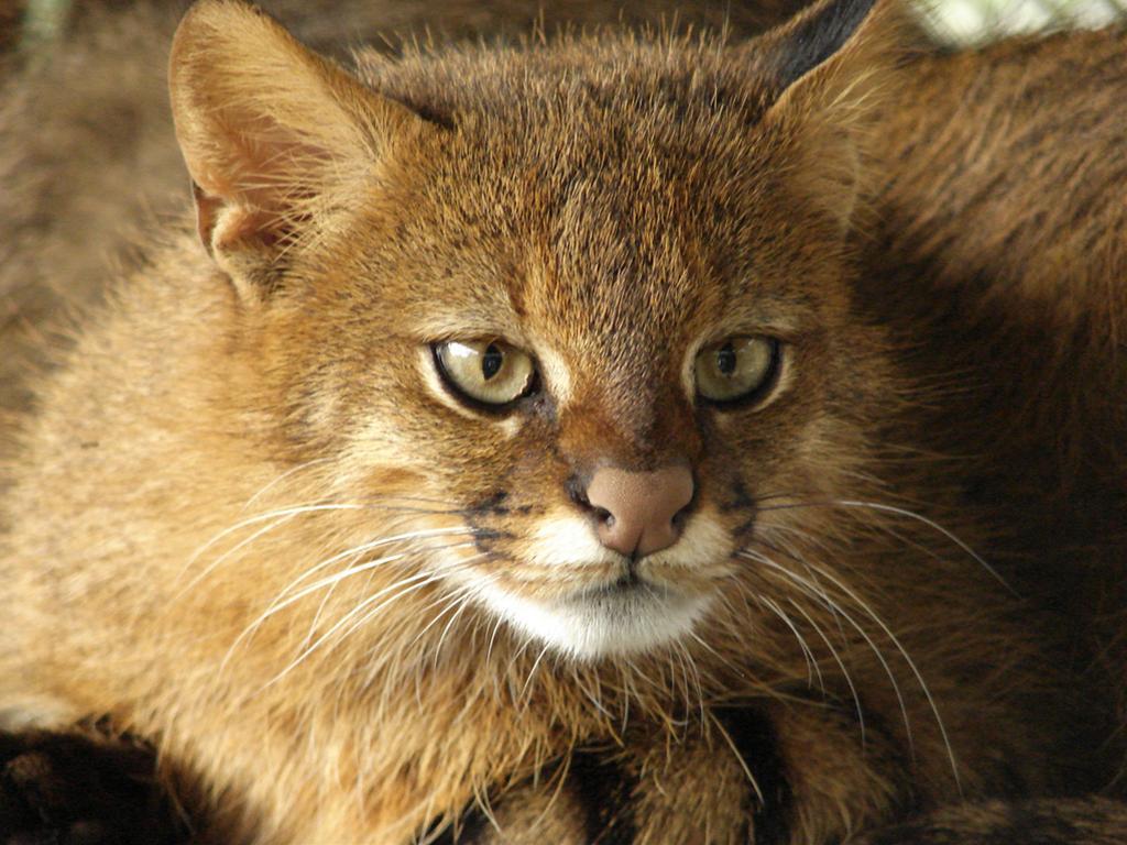 かわいい猫画像No.15「パンパスネコの画像「壁紙・正面から顔アップ」」 前の画像へ戻る 次の画